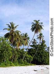 Coconut Tree at Beac