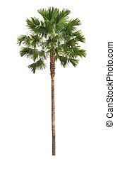 coconut tree isolated white
