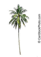 Coconut tree on a white background