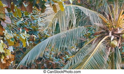 Coconut tree on beach. Large green coconuts on a palm tree close up view from below