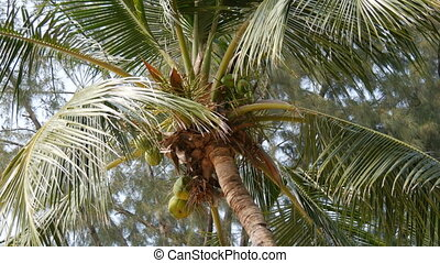 Coconut tree on beach. Large green coconuts on a palm tree...