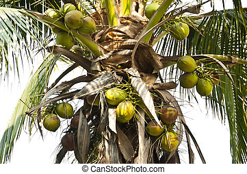 Coconut tree.