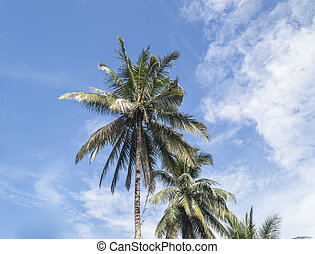 Coconut tree under the blue skies