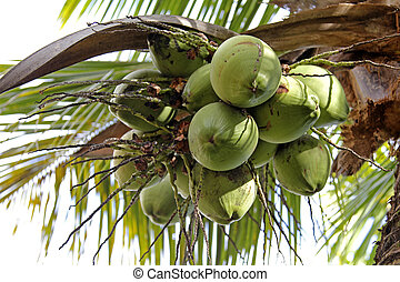 Coconut Tree with fruits over the white sky
