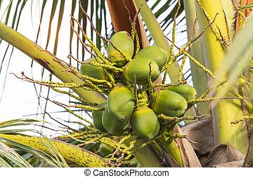 Coconut tree with many fruits