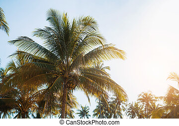 Coconut tree with sunlight.