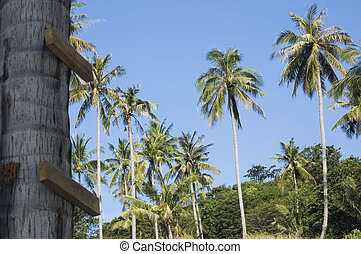 Plantation of coconut trees and makeshift staircase. Koh Tao island - Thailand
