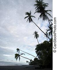 Coconut trees hang over Beach in Punta Banco
