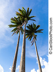 Coconut trees in the sky