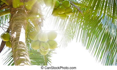 Coconuts on the top of palm tree