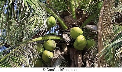 Coconuts ripen on the palm