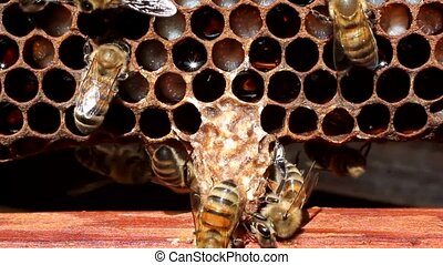 Cocoon future Queen Bees - Bees are paying attention to the...