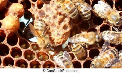 Cocoon future Queen Bees