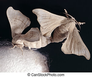 cocoon - silkworm butterfly