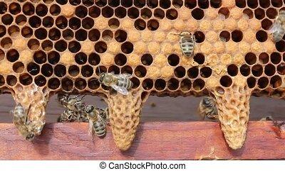 cocoons future queen bees - Future Queen Bee develops in a...
