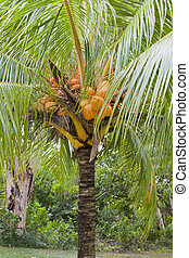 coconut tree dwarf