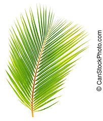 cocosnoot, blad, vrijstaand, groene achtergrond, witte