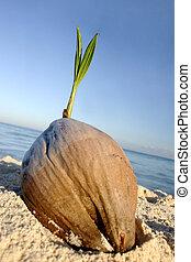 cocosnoot, kiemplant