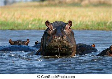 Coctail through a straw. / The hippopotamus sits in a bog ...