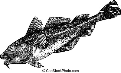 Cod america (morrhua americana), vintage engraving