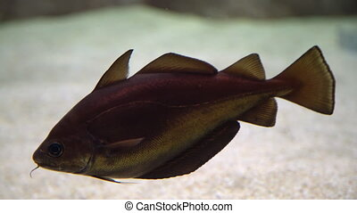 Cod fish - Gadus morhua. Underwater shot of atlantic cod swimming and searching for food on the bottom of the sea