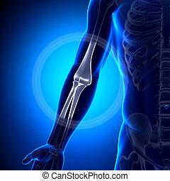 codo, -, anatomía, huesos