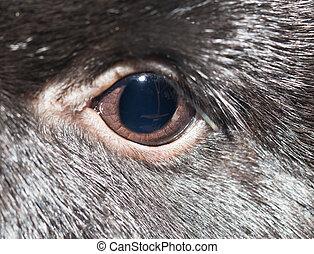 coelho, eye., close-up