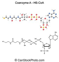 Coenzyme-A - Structural chemical formula and model of...