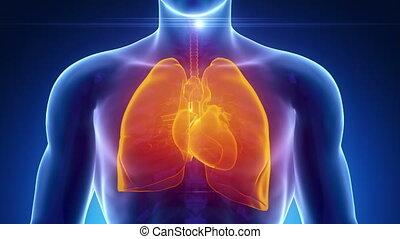 coeur, bronche, mâle, poumons, monde médical