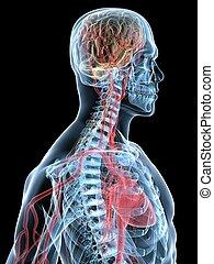 coeur, cerveau humain