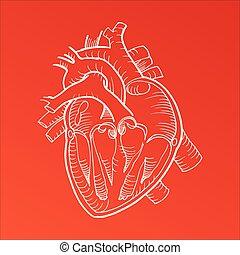 coeur, crayon, anatomique, humain, dessin ligne