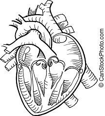 coeur, crayon, anatomique, noir, humain, dessin ligne