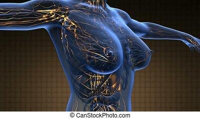 coeur, femme, balayage, science, vaisseaux, anatomie, incandescent, sanguine, boucle