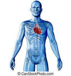 coeur, figure, render, monde médical, mis valeur, mâle, image, 3d