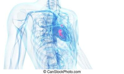 coeur, fonctionnement, valves
