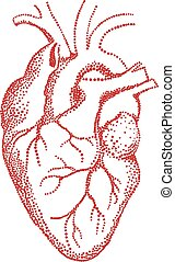 coeur humain, dessin, vecteur, rouges
