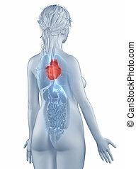 coeur, position, anatomie, femme, isolé, vue postérieure