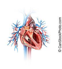 coeur, section transversale, vessels., humain