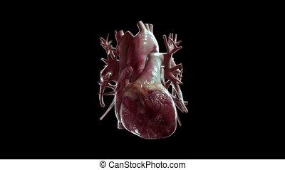 coeur, uhd, humain, repeatly, alpha, battement, canal