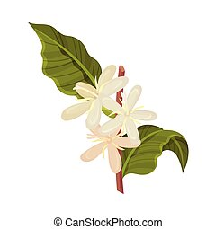 Coffea Plant Branch with Blooming Flowers Vector Illustration