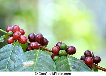 coffee bean on tree