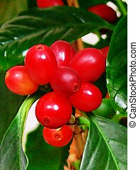 Coffee beans 50816 - Almost ripe coffee beans on a plant in ...