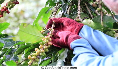 Coffee Beans harvested by hand