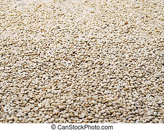 coffee beans on the ground at farm in drying process