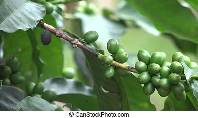 Coffee Beans on Coffee Plant