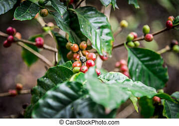 Coffee beans on the tree1