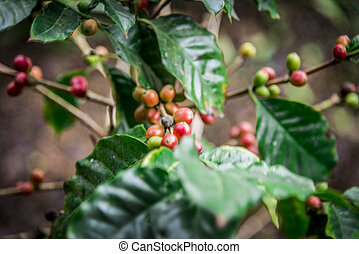 Coffee beans on the tree2