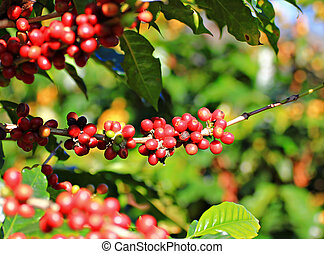 Coffee beans on tree.