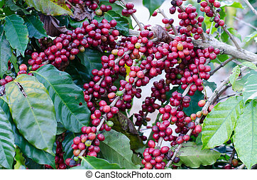 Coffee beans on trees  - Coffee beans on trees