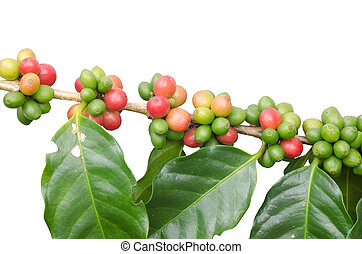 Coffee beans on trees isolated on white background